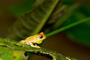 Hourglass Treefrog - Dendropsophus ebraccatus