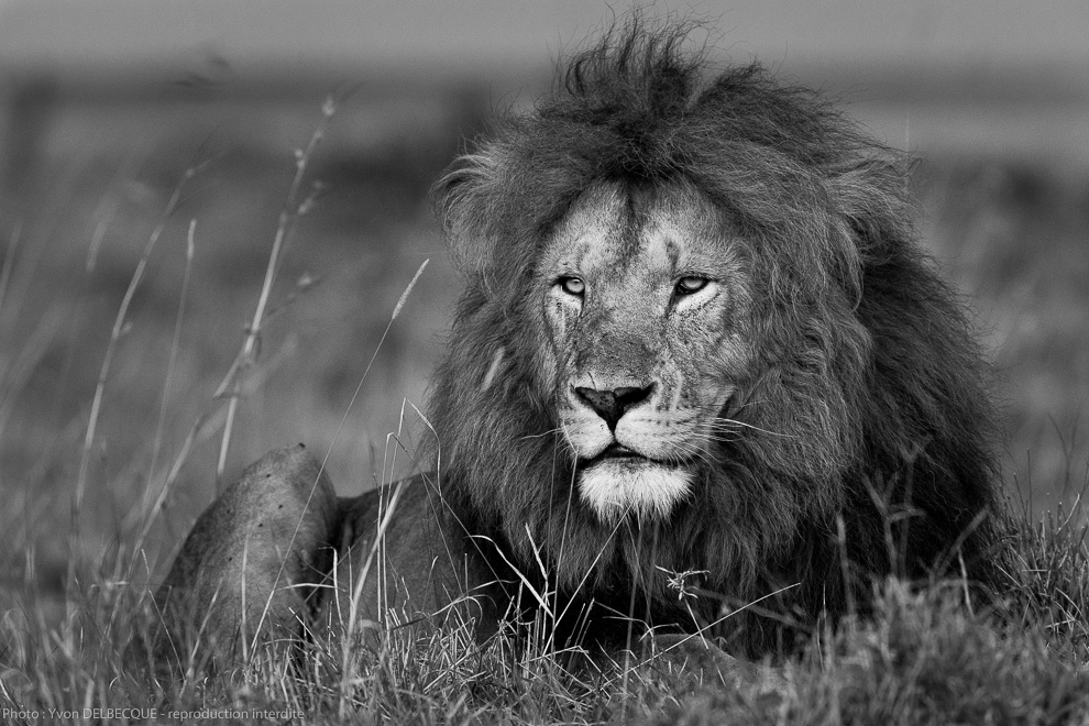 lion - panthera leo 20140219 1571353884