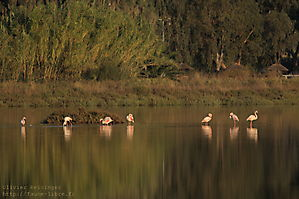 Flamants roses au levant.