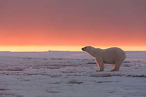 Ours polaire au couchant