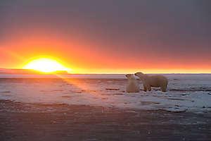 Ours regardant le soleil couchant
