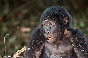 Jeune gorille. Bwindi NP, Ouganda.