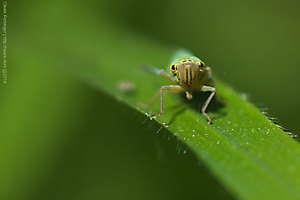 Cicadelle verte