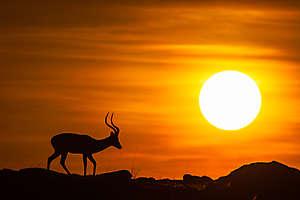 Impala du matin