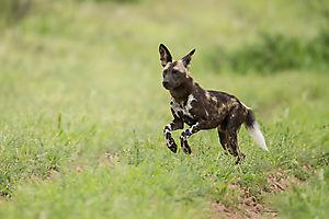 Lycaon du Botswana