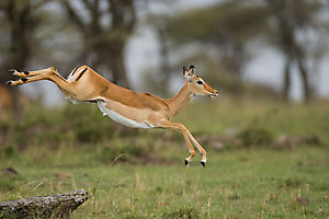 Dame Impala bondissant toujours