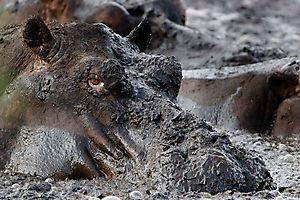 Bain de boue à Katavi