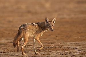 Loup d'Afrique au Sénégal