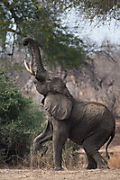 Éléphant en équilibre