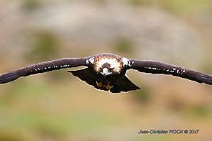 Aigle impérial ibérique