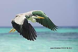 Héron gris des Maldives
