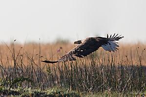 Pygargue à queue blanche - Delta du Danube