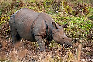 Rhinocéros indien (Rhinoceros unicornis)