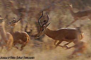 Panique chez les impalas