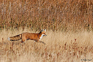 Renard roux sur la route de Yellowstone (Wyoming, USA)