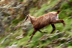 La course du chamois