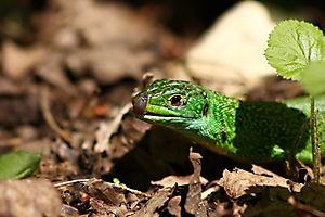 Lézard vert (Lacerta bilineata)