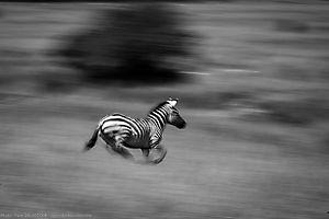 Zèbre de Burchell  - equus zebra