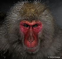 Macaque japonais - Macaca fuscata_10