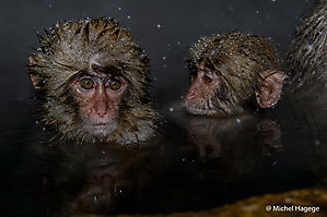 Macaque japonais - Macaca fuscata_11