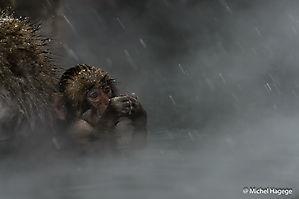 Macaque japonais - Macaca fuscata_9