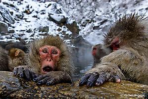 Macaque japonais - Macaca fuscata_15