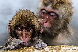Macaque japonais - Macaca fuscata_17