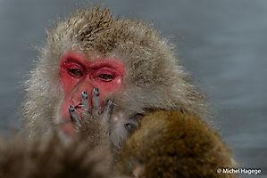 Macaque japonais - Macaca fuscata_2
