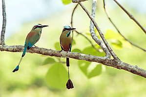 Couple de Motmot à sourcils bleus
