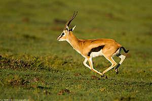 Elle galope l'antilope