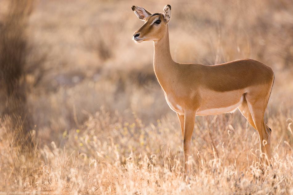 contrejour-impala-0001.jpg