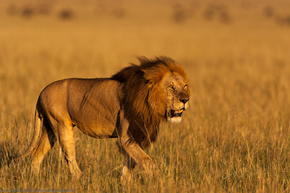 lion-035-2.jpg