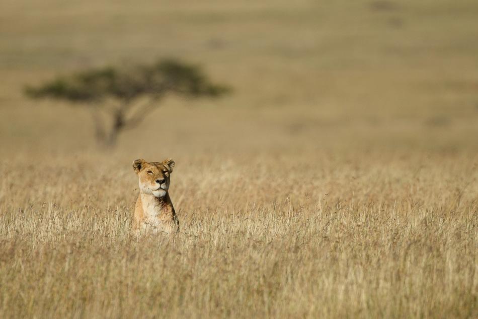 lion-077.jpg