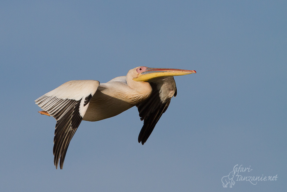 bl-pelican-1544.jpg