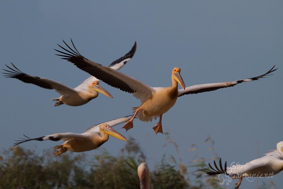 bl-pelican-1797.jpg