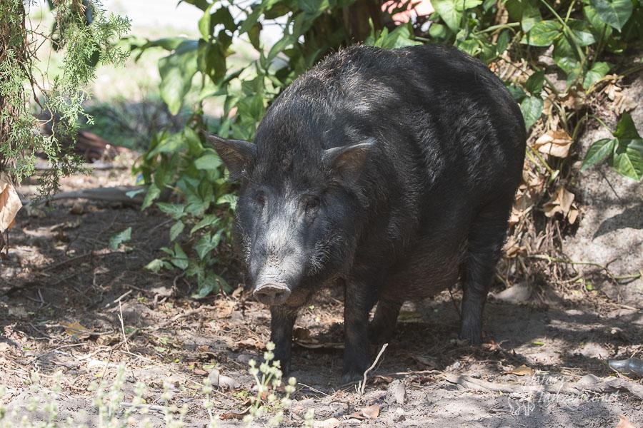 cochon-5764.jpg