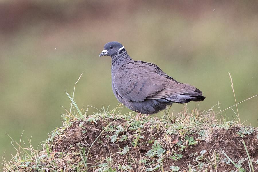 pigeon_a_collier_blanc-1132.jpg