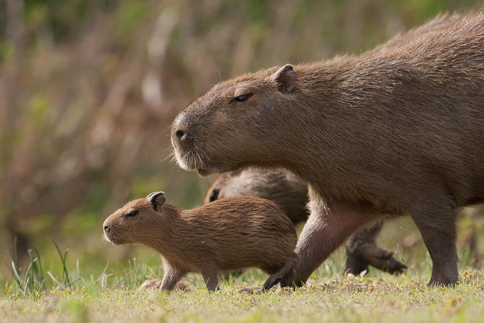 capybara-096383.jpg