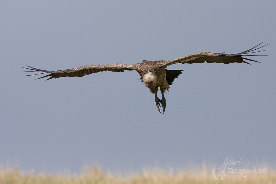 cat-vautourafricain-2822.jpg