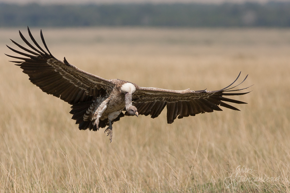 cat-vautourderuppell-0504.jpg