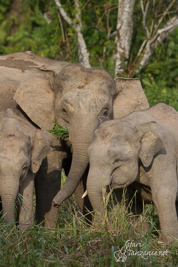 elephant_de_borneo-.jpg