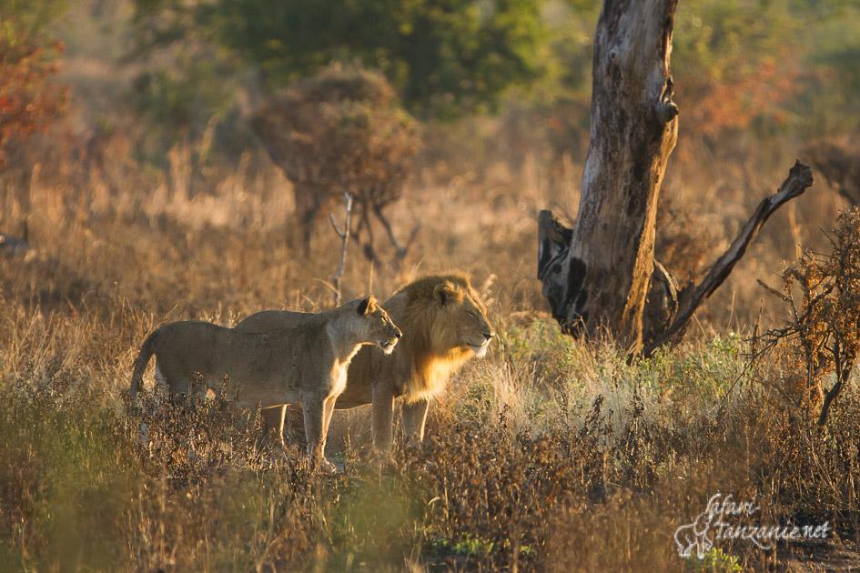 lions-9472.jpg