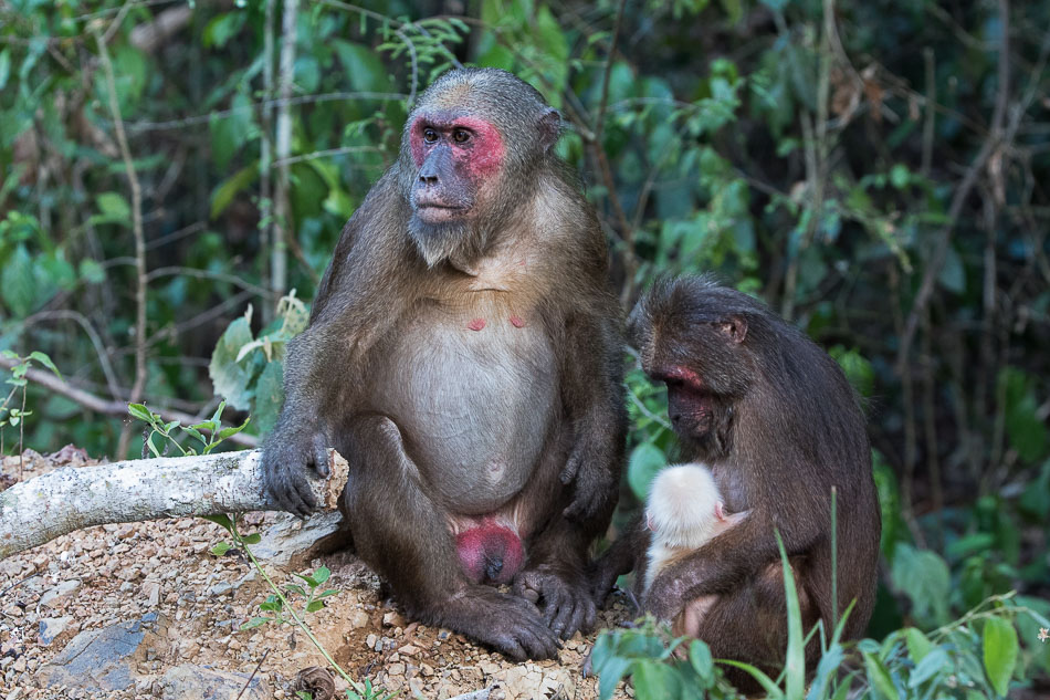 macaque_a_face_rouge-2119.jpg