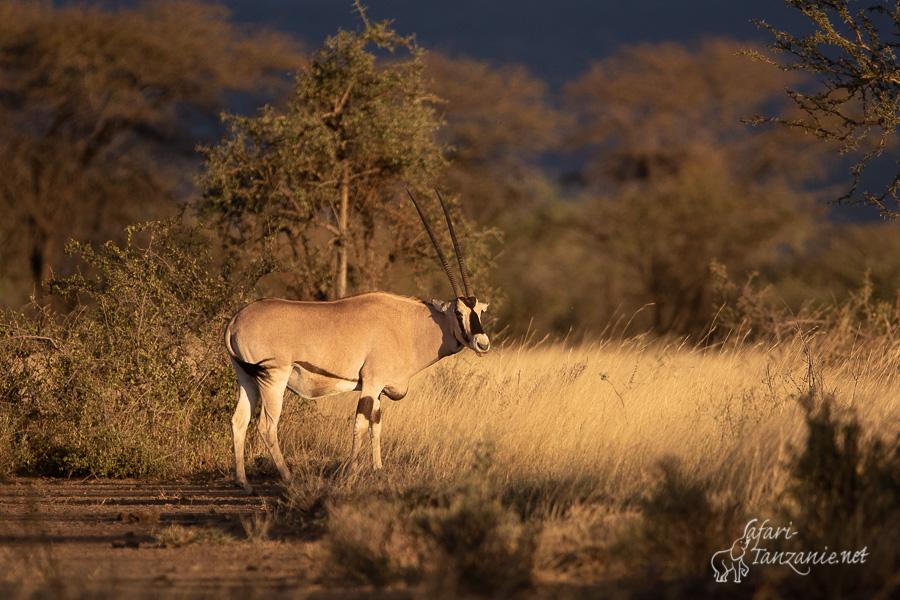 oryx_beisa-1574.jpg