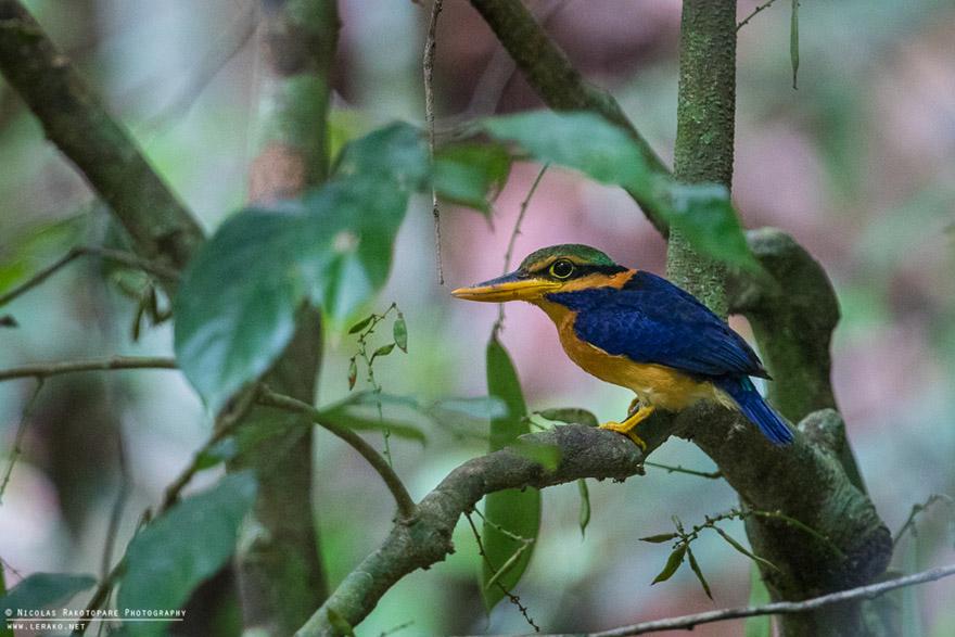 Rufous-collared-Kingfisher-Actenoides-concretus_wilipi.jpg