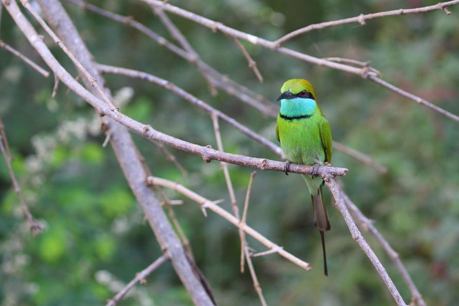GreenBee-eaterwilipi.JPG