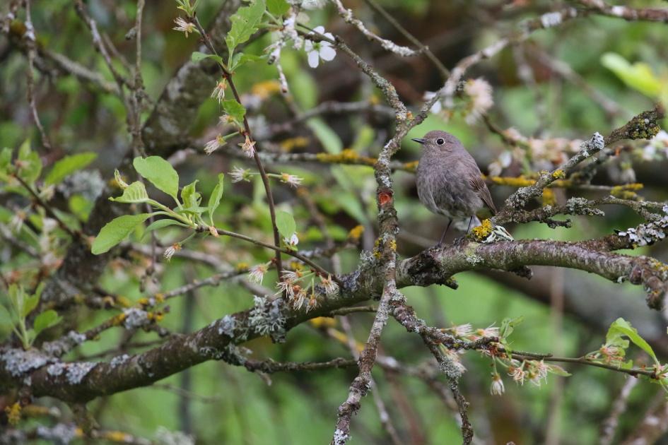 Rougequeuenoir(femelle)wilipi.JPG