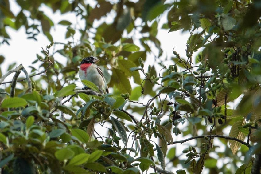 Cardinalpoitrinerose-2602.jpg