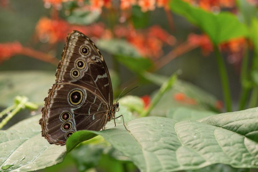 Papillon4-5650.jpg