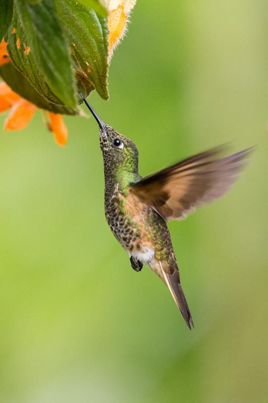 colibriflavescent.jpg